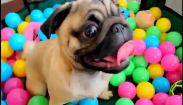 Watch and share Happy GIFs and Pug GIFs on Gfycat