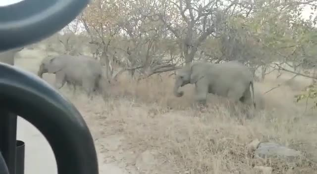 travel & events, viva safaris, Baby elephant has second thoughts - Viva Safaris GIFs