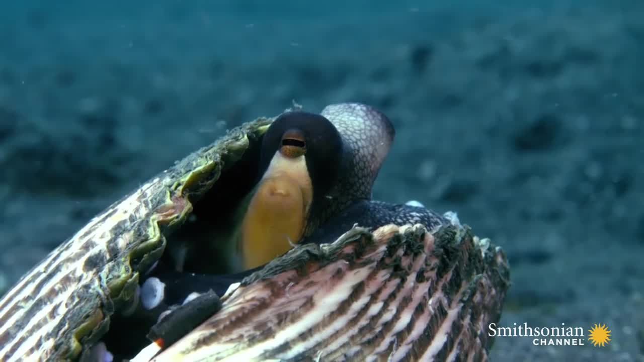 Coconut Octopus, cephalopod, crab, hitanimals, nature, propel, sea, sucker, A Coconut Octopus Uses Tools to Snatch a Crab GIFs