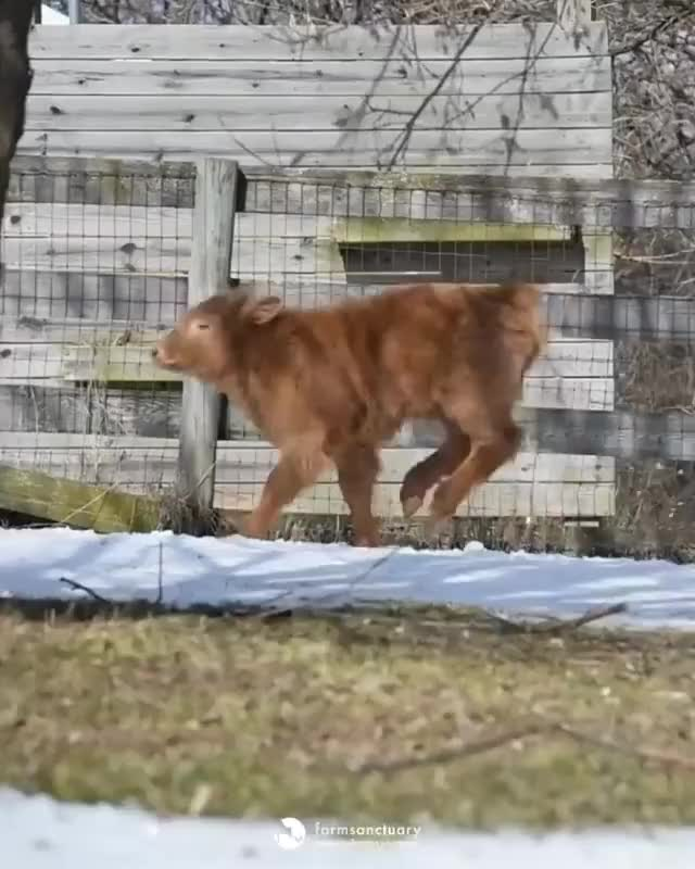 Watch and share Farm Sanctuary GIFs and Zoomies GIFs by lnfinity on Gfycat