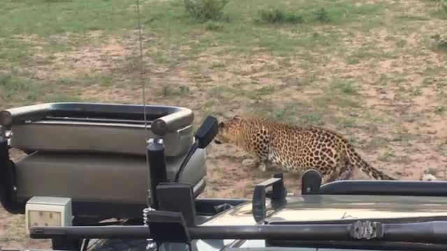 Watch and share Leopard Chase GIFs by Londolozi Game Reserve on Gfycat