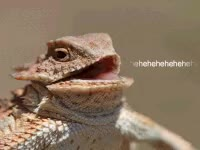 Watch and share Laughing Lizard GIFs on Gfycat