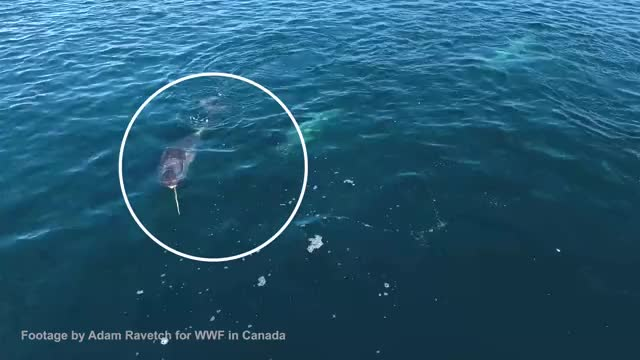 Watch Narwhal Tusk Behaviour GIF on Gfycat. Discover more Narwhals, Nonprofits & Activism, WWF-Canada, discovery, nature, wwf GIFs on Gfycat