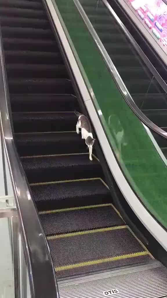 cat, cats, escalator, funny, Cat escalated slowly GIFs