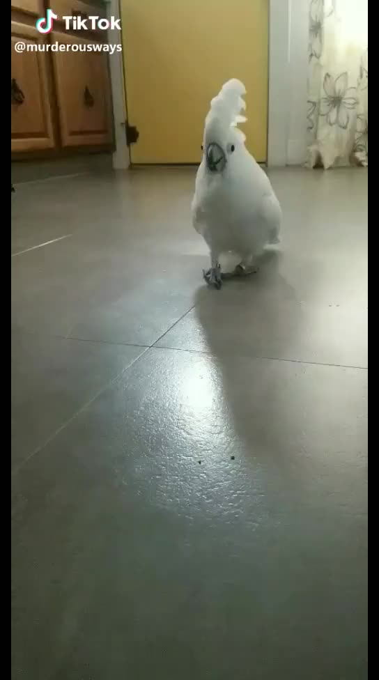 Watch Detective Angel is on the case 👀 #umbrellacockatoo #birds #parrot #cockatoo #detective GIF by gifs (@awaretoe) on Gfycat. Discover more birds, cockatoo, parrot, umbrellacockatoo GIFs on Gfycat