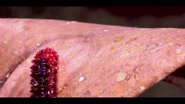 Jewel caterpillar