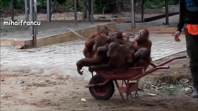 Watch Orangutan - Funny Orangutans And Cute Orangutan Videos || NEW GIF on Gfycat. Discover more Chimpanzee, VIDEOS, animal, animals, ape, apes, babies, baby, chimp, chimps, cute, funny, monkey, orangutan, orangutans, video, wildlife, zoo GIFs on Gfycat