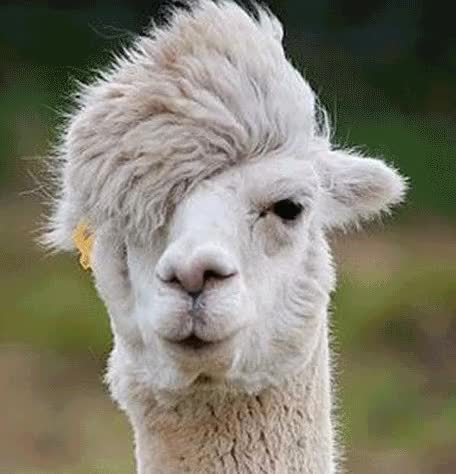 Watch this alpaca GIF on Gfycat. Discover more alpaca, alpacas GIFs on Gfycat