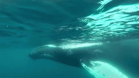 Snorkeling With Humpback Whales 8lo8 GIFs
