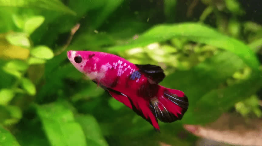 Aquariums, Bettafish, aquarium, Betta doesn't like his Swordtail roomates GIFs