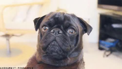 Watch MEET EDGAR! GIF on Gfycat. Discover more asdfghjkl;', cutiepiemarzia, edgar allan pug, pewdiepie GIFs on Gfycat