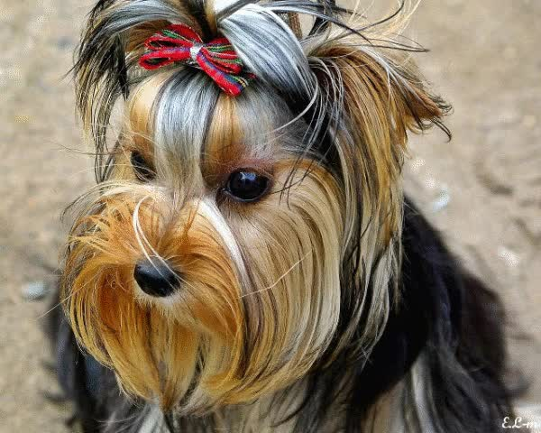 Watch and share Yorkshire Terrier.gif GIFs on Gfycat