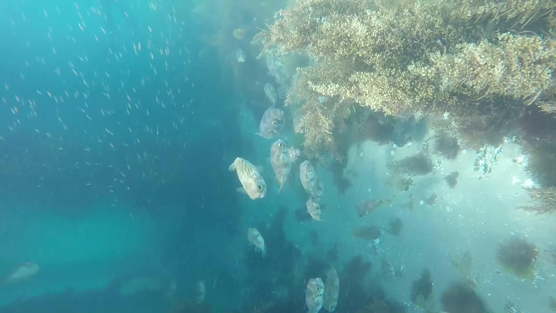school of porcupine fish GIFs