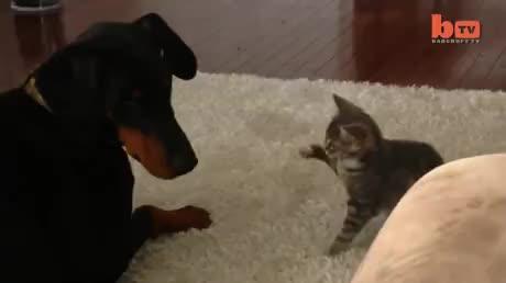 Dog vs ninja kitten