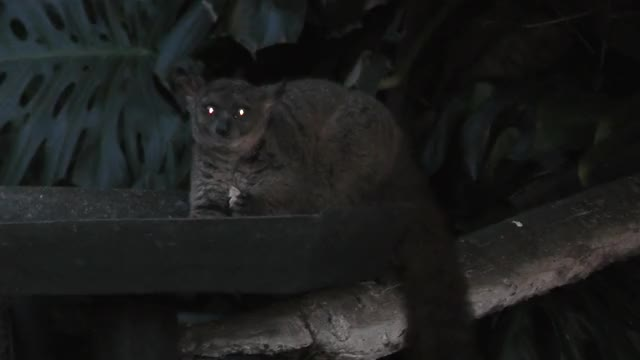 Watch and share Greater Galago GIFs by likkaon on Gfycat