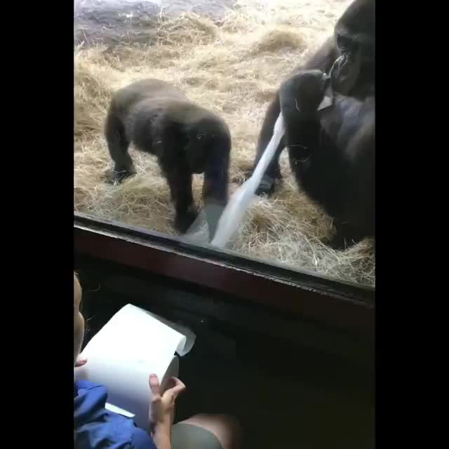 When you give 5 gorillas 1 giant paper towel roll to play with 🤣💙🦍 GIFs