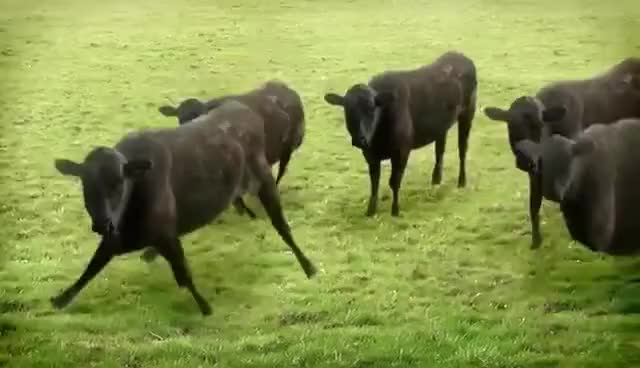 Watch and share Cows GIFs and Cow GIFs on Gfycat