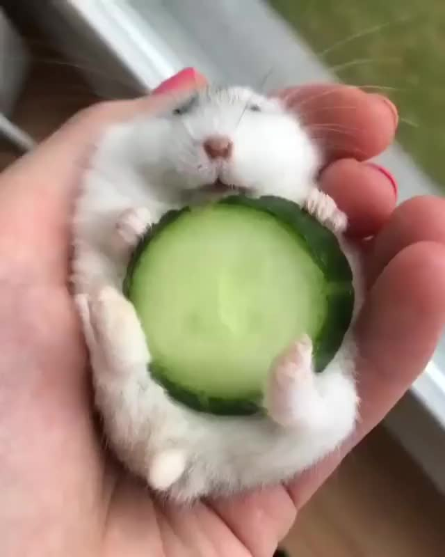 Watch and share Cucumber Hamster GIFs on Gfycat