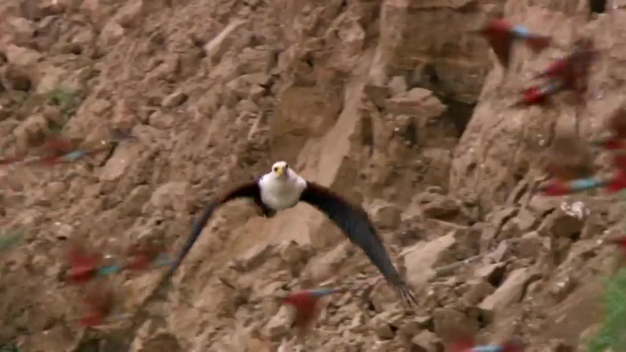 African Fish Eagle hunting Southern Carmine Bee-eaters GIFs