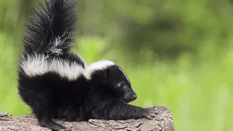Watch and share Skunk GIFs on Gfycat