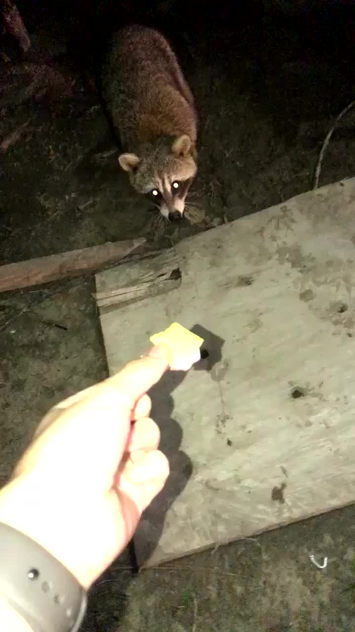 He fed the cute trash panda and looked up for a second (reddit) GIFs