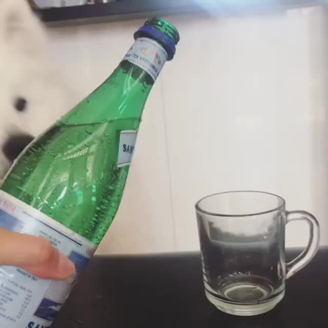 dogsofinstagram, dogsofsydney, floof, pupoftheday, puppiesofinstagram, sammypuppy, samoyed, samoyedlove, samoyedpuppy, samoyedsofsydney, I tried sparkling water for the first time! 🥂✨ Watch to the end for angery shoob 😠 . . . . . . . GIFs