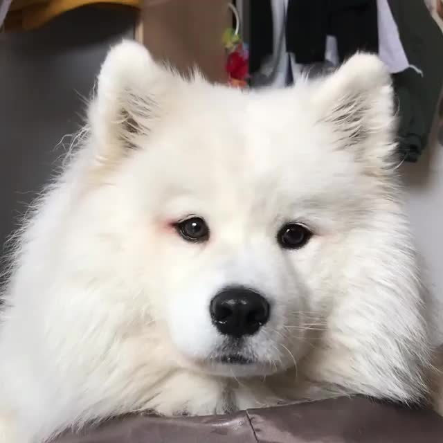 MAYA THE SAMOYED, dog, How to get your dog eating veggies 😂 - Info: cooked broccoli & don't feed too much of it GIFs