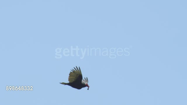 Turkey Vulture with a Rockhopper Penguin chick GIFs