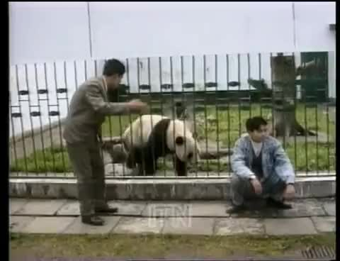 Watch this panda GIF on Gfycat. Discover more predators GIFs on Gfycat