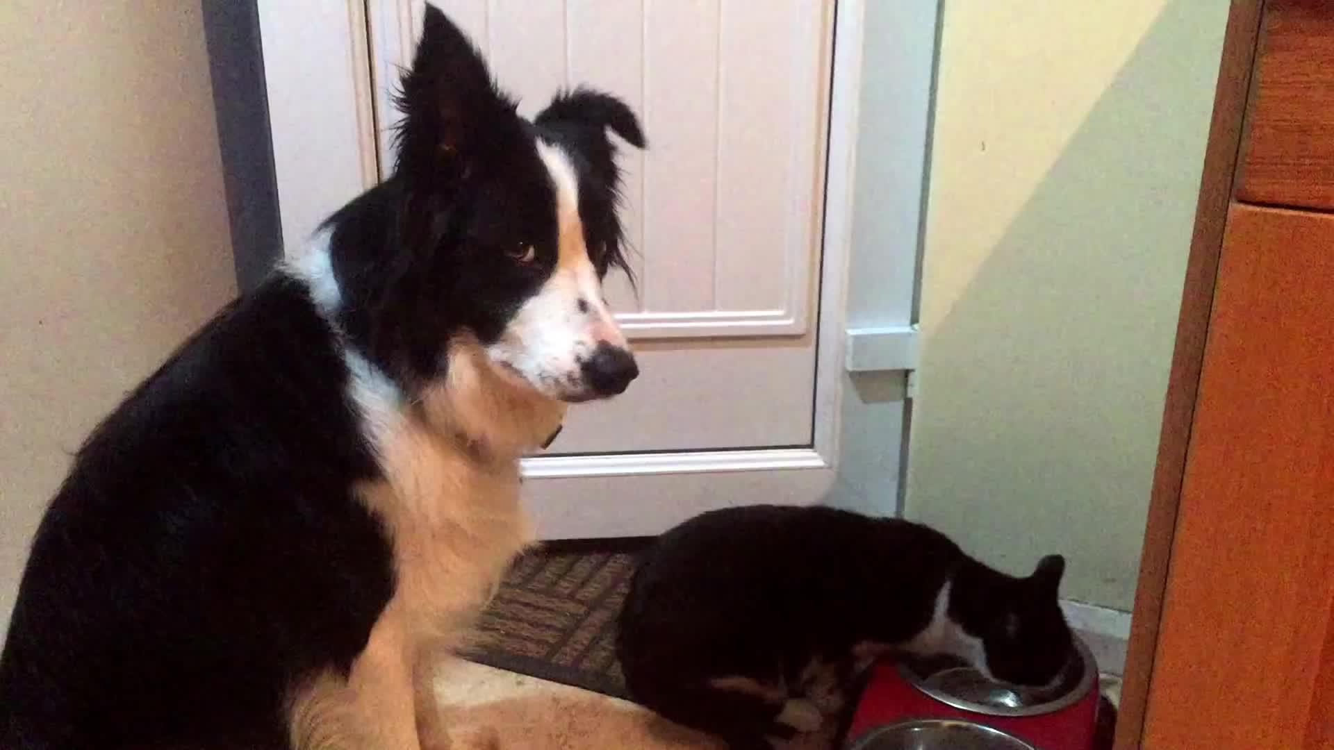 Dog politely asks cat for his dinner back (reddit) GIFs