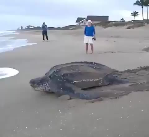 absolute unit, nature, Absolutely massive leatherback turtle moving back into the ocean after laying its clutch of eggs GIFs