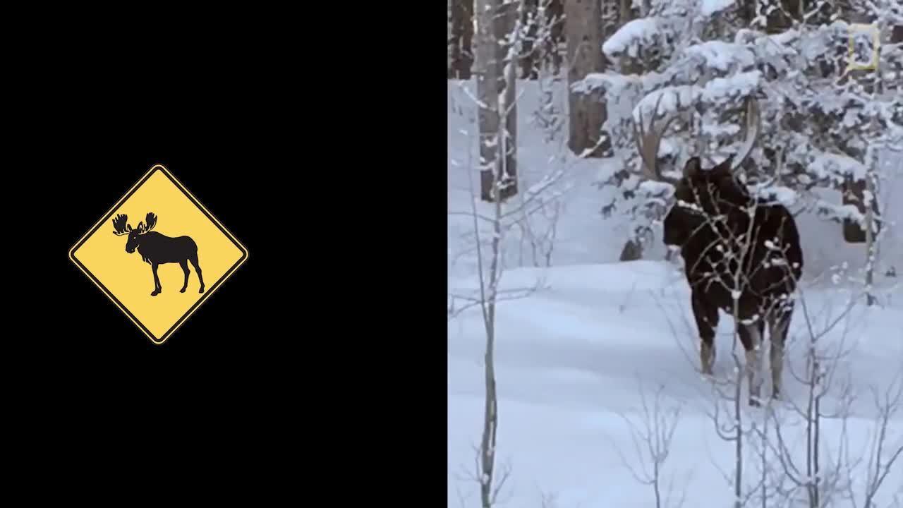 animal, antler, moose, Rare Video: Moose Loses an Antler GIFs