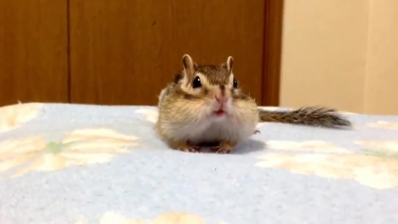animaltextgifs, シマリスの朝のストレッチ/ Chipmunk's morning stretch (reddit) GIFs
