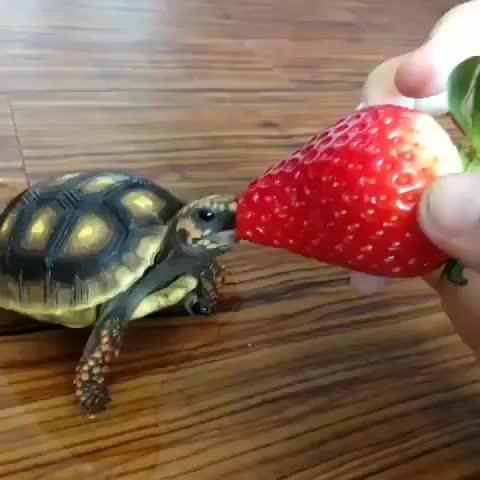 adorableanimals, animal, babyanimals, babyturtle, babyturtles, cuteanimals, cuteturtle, littleturtle, pet, savetheturtles, turtle, turtlebaby, turtlegram, turtlelove, turtlelover, turtlelovers, turtleofinstagram, turtles, turtlesofinstagram, turtle🐢, A tiny turtle eating a strawberry to brighten your day GIFs