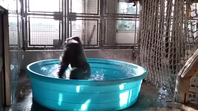 Watch this gorilla GIF on Gfycat. Discover more animals, dance, gorilla, monkey, primate, zoo GIFs on Gfycat