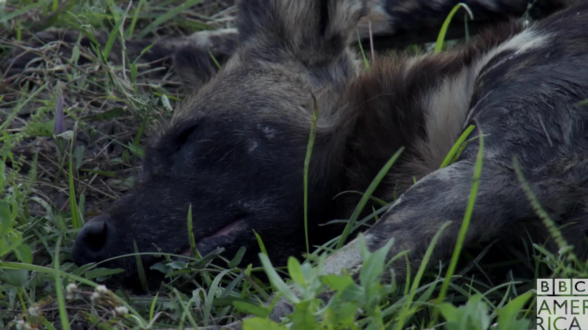 animal, animals, bbc america, bbc america dynasties, bbc america: dynasties, dynasties, good morning, painted wolf, painted wolves, sleepy, tired, wake up, wolf, wolves, Dynasties Wolf Wakes Up GIFs