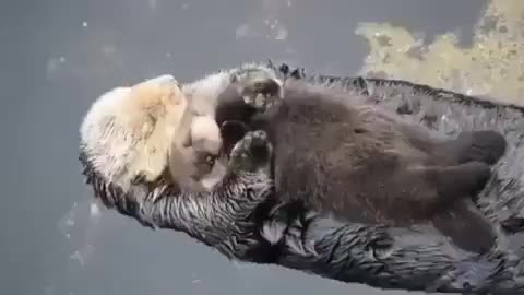 Peacefully drifting mom and baby otter GIFs