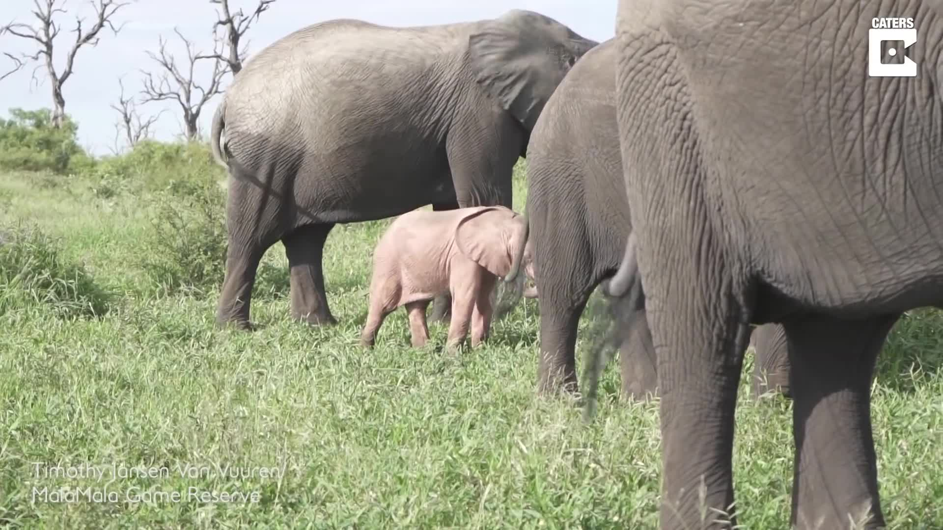 elephant, elephants, Pink Baby Elephant Spotted In Wild GIFs
