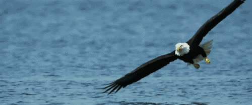 Sea Eagle Gifs Search | Search & Share on Homdor