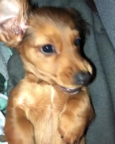 Watch and share Puppyeyes GIFs and Cutedogs GIFs by vani  on Gfycat