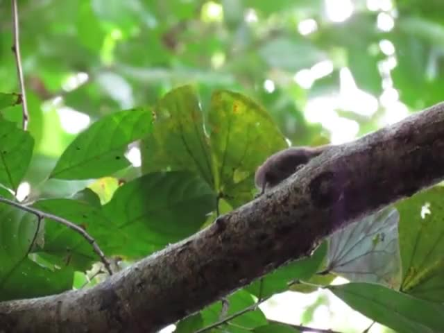 Watch Plain Pygmy Squirrel (Exilisciurus exilis) chewing bark and marking his territory GIF by @likkaon on Gfycat. Discover more NatureGifs, exilisciurus, squirrel GIFs on Gfycat