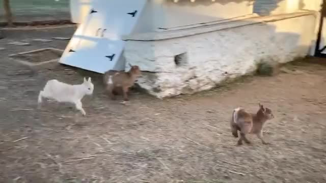 Watch and share Animal Sacntuary GIFs and Goats Of Anarchy GIFs by lnfinity on Gfycat