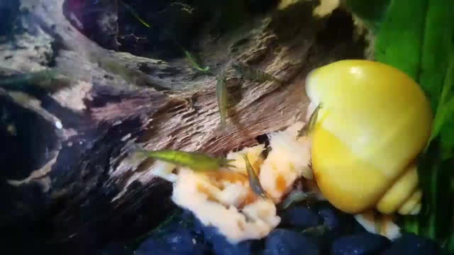shrimptank, Mini Feeding Frenzy GIFs
