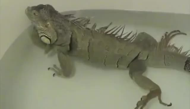Watch and share Iguana Fart GIFs on Gfycat