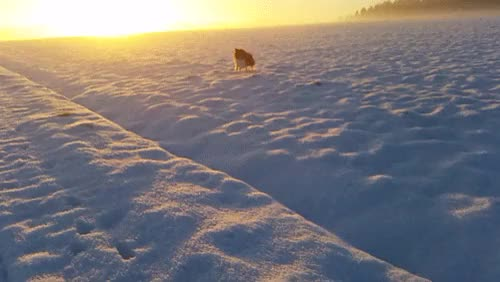 Watch Sheltiebros GIF on Gfycat. Discover more Kody, Sammy, amazing, animals, bordercollie, breathtaking, dogs, gif, gifs, morning, pets, puppy, running, scenery, sheltie, shetlandsheepdog, snow, sunrise, throwback, view, winter GIFs on Gfycat
