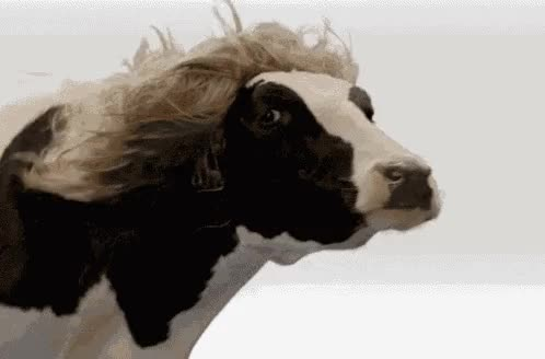 Watch Blonde Cow GIF by dCo3lh0 (@dco3lh0) on Gfycat. Discover more Cow, Hair, Toddy GIFs on Gfycat