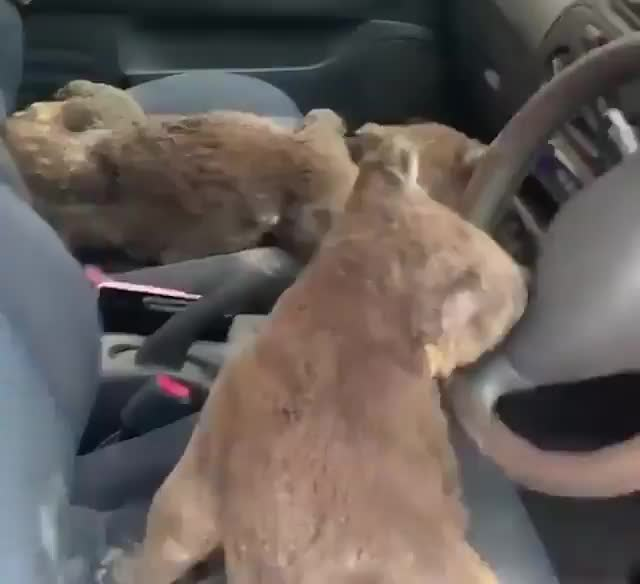 Watch and share An Australian Family Set About Rescuing As Many Koalas As They Could From The Wildfires To Take To Their Friend Who Has A License To Take Ca GIFs on Gfycat