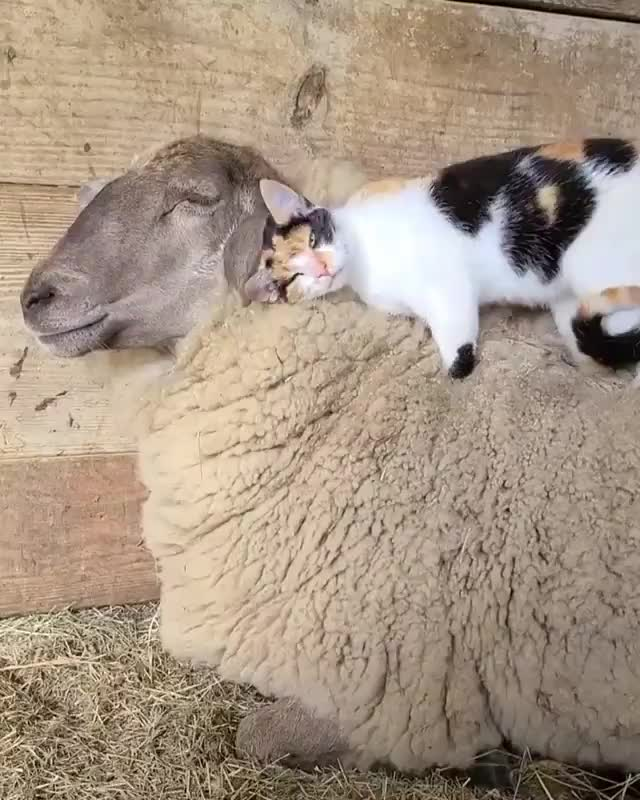 Watch and share Cat Riding Sheep GIFs by Mhenvy🐍 on Gfycat