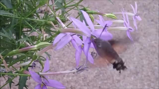 Watch Hummingbird moth GIF on Gfycat. Discover more flowers, gifs, moth GIFs on Gfycat
