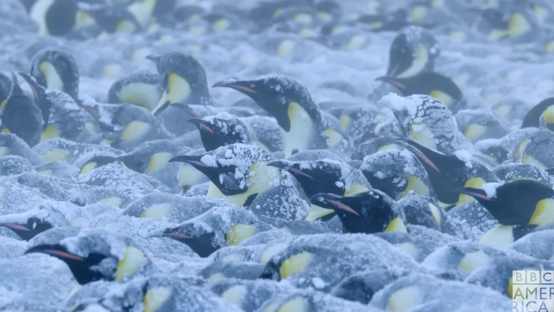animal, animals, bbc america, bbc america dynasties, bbc america: dynasties, brr, brrr, cold, dynasties, emperor penguin, emperor penguins, fml, freezing, help, penguin, penguins, Dynasties Cold Penguins GIFs